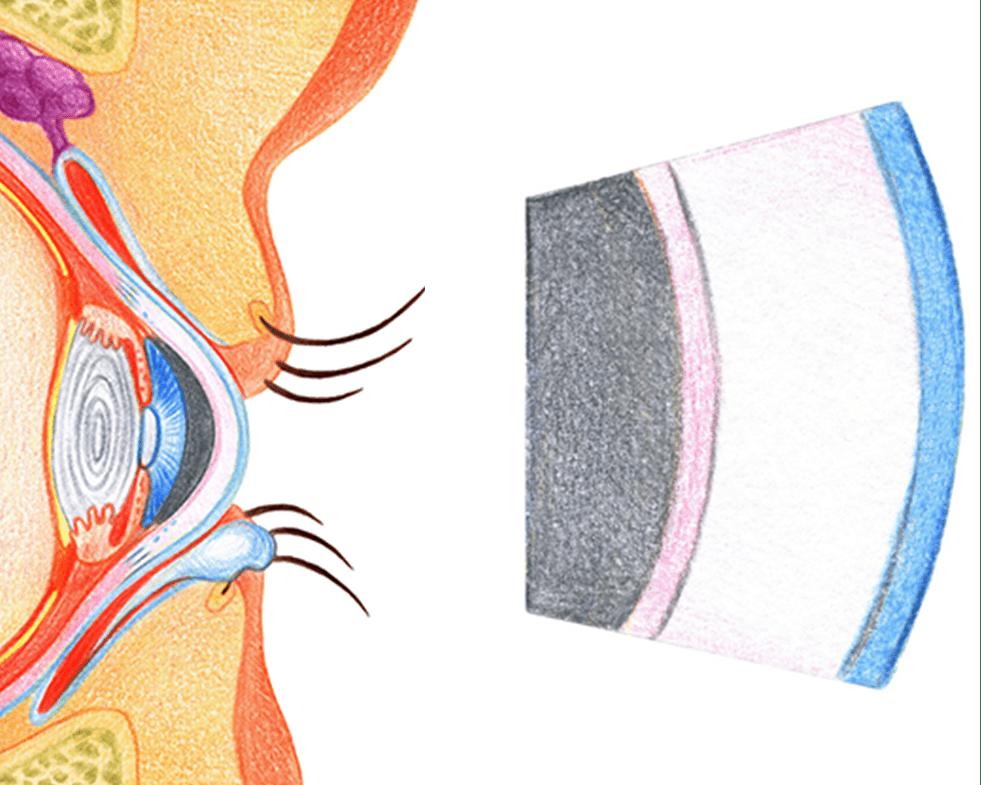 L'oeil est un organe fascinant